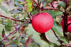 Hintergrund mit roten Äpfeln auf einem Brunch Stockbilder