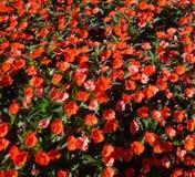 Hintergrund mit roten Blumen Stockbilder