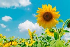 Hintergrund mit Sonnenblumengarten und blauem Himmel Stockfotos