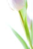 Hintergrund mit violetter Tulpe - Stock Foto