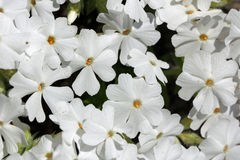 Hintergrund mit weißen Blumen von Phlox subulata Lizenzfreies Stockbild