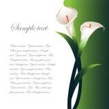 Hintergrund mit weißen Callas Lizenzfreies Stockfoto