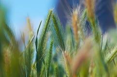 Hintergrund mit Weizen Stockfoto