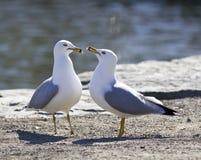 Hintergrund mit zwei Möven in der Liebe, die auf dem Ufer bleibt Lizenzfreies Stockfoto