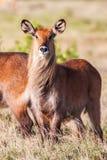 Hintergrund-Natur-Porträt wild lebender Tiere Waterbuck afrikanisches des Lebens Abschluss oben Lizenzfreies Stockfoto