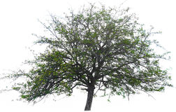 Hintergrund-Naturumwelt des Baums grüne lokalisiert Stockfotos