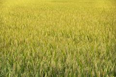 Hintergrund-Reisfelder stockfotos