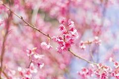 Hintergrund schöner Cherry Blossom- oder Kirschblüte-Blume Lizenzfreies Stockfoto