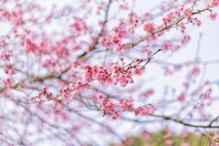Hintergrund schöner Cherry Blossom- oder Kirschblüte-Blume Stockbild
