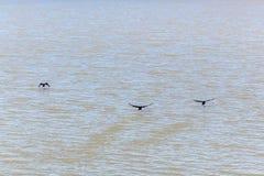 Hintergrund, schwarze Enten, die schlammiges Wasser wegheben Lizenzfreies Stockbild