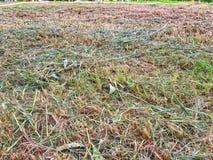 Hintergrund trockener Rasenfläche Browns Stockbild