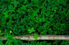 Hintergrund- und Beschaffenheitsgrünblätter und einige gelbe Blumen von Pinto Peanut stockbilder