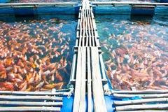 Hintergrund vieler roter Fische Stockfotografie