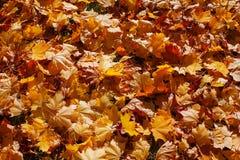 Hintergrund vom Herbstlaub eines Ahorns im hellen Licht der Sonne stockbilder