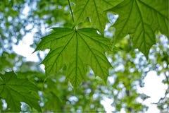 Hintergrund von Ahornblättern in einer Waldung stockfotografie