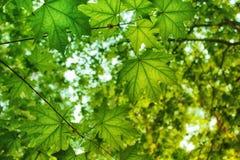 Hintergrund von Ahornblättern in einer Waldung stockfotos