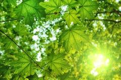 Hintergrund von Ahornblättern in einer Waldung lizenzfreie stockfotografie