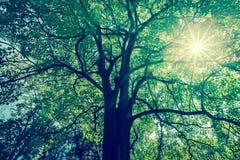 Hintergrund von Baumasten mit grünem Laub mit Sonnenradius lizenzfreies stockfoto