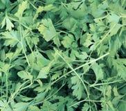 Hintergrund von Blättern der Petersilie Stockbilder