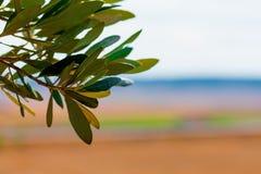Hintergrund von Blättern, von Stämmen und von Niederlassungen des Olivenbaums lizenzfreie stockfotografie