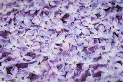 Hintergrund von blühenden Blumen der Flieder Lizenzfreie Stockfotografie