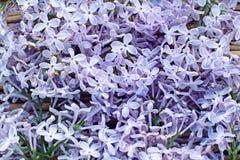 Hintergrund von blühenden Blumen der Flieder Lizenzfreie Stockfotos