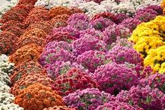 Hintergrund von blühenden Chrysanthemen Stockbild