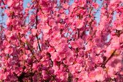 Hintergrund von blühender Kirschblüte Stockfoto