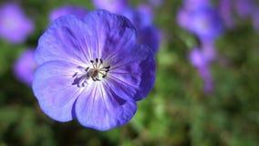 Hintergrund von blauen Blumen Stockfoto