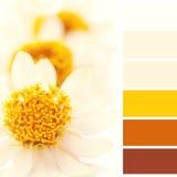 Hintergrund von Blumen des afrikanischen Gänseblümchens, mit Farbpalette Lizenzfreies Stockfoto