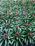 Hintergrund von Bromelieanlagen mit roten Mitten und grüne Blätter bilden ein Muster lizenzfreie stockbilder