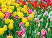 Hintergrund von bunten bunten frischen Tulpen lizenzfreie stockbilder