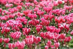 Hintergrund von bunten rosa Alpenveilchenblumen Stockfotografie