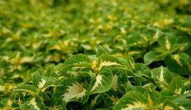 Hintergrund von den grünen Blättern Stockbild