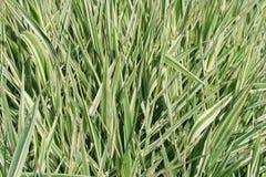 Hintergrund von den grünen Blättern Lizenzfreie Stockfotografie