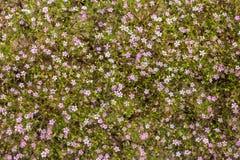 Hintergrund von den kleinen Blumen von Gypsophila Lizenzfreies Stockfoto