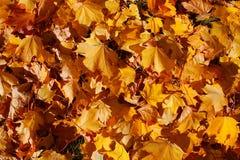 Hintergrund von den schönen Blättern auf einem grünen Gras im hellen Licht der Sonne stockbild