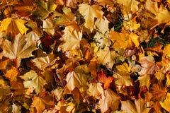 Hintergrund von den schönen Blättern des gelben und orange Ahorns des Herbstes im Licht der Sonne stockfoto