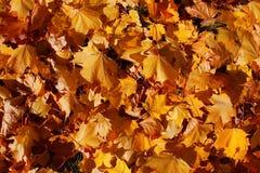 Hintergrund von den schönen Blättern des Herbstahorns auf einem grünen Gras im Licht der Sonne stockfoto
