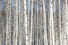 Hintergrund von den silbernen Birken stockfotos