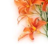 Hintergrund von der Blume der Lilie Lizenzfreies Stockbild