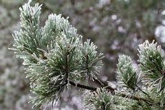Hintergrund von der Kiefer gefror Baumaste mit Frost Stockfotos