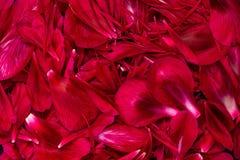 Hintergrund von frischen roten Blumenblumenblättern im dunklen Ton Lizenzfreies Stockfoto