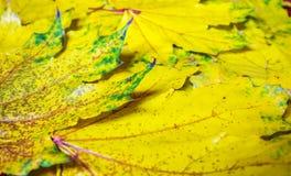 Hintergrund von gelben Ahornblättern, Herbstabstraktion, Tapete Stockfoto