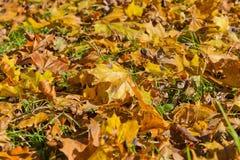 Hintergrund von gelben Herbstahornblättern Lizenzfreie Stockfotografie