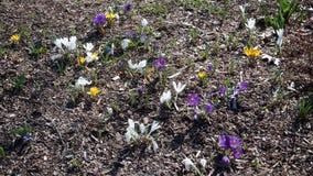 Hintergrund von gelben, weißen und purpurroten ersten Frühlingsblumen lizenzfreie stockfotografie