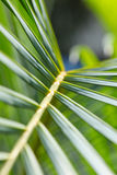 Hintergrund von grünen Palmeblättern Stockbild