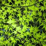 Hintergrund von grünen sonnenbeschienen japanischen Ahornblättern Stockbild