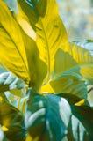 Hintergrund von großen Blättern von Spathiphyllum, Blattbeschaffenheit Lizenzfreie Stockbilder