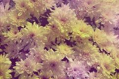 Hintergrund von kleinen Blumen von Chrysanthemen lizenzfreies stockbild